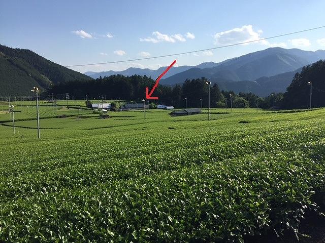 緑茶は熟成すると美味しいらしい。